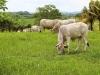 happy-brahma-cows-jpg