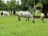 horses-graise-with-cattle-jpg