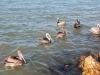 pelicans-waitingsm-jpg