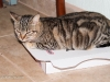 cat-on-pizza-box