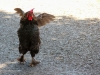 dancing-neighborhood-chicken