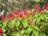 flame-flower-bush