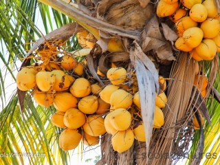 lots-of-coconuts