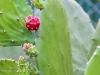 cactus-fruit