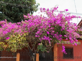 flowers-and-mangoes-across-from-casa-rosa