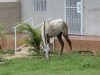 horses-loose-in-yard