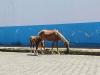 horses-loose-on-street