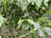 coffee-on-bush