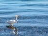 egret-fishing
