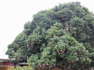 tree-loaded-with-mangoes