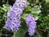 blue-star-flowers