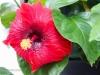 crimsom-hibiscus