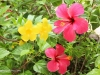 hibiscus-with-yellow-flowers