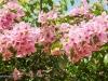 pink-bougainvillea