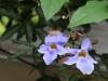 blue-vine-flowers
