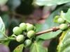 closeup-of-coffee-berries
