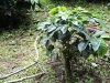 coffee-tree-pruned-for-regrowth