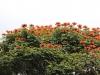 fire-tree-flowers