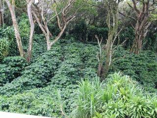 coffee-plants-under-trees