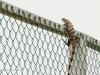 2b-climbing-iguana