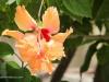 2b-fancy-orange-hibiscus-flower