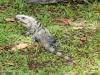 2b-grey-iguana-on-lawn