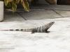 2b-grey-iguana-poolside