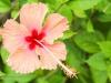 2b-orange-hibiscus