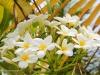 2b-plumaria-blooms