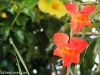 gladiolus-bloom