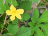 little-yellow-flower