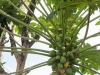 papaya-on-tree