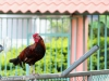 rooster-on-fence