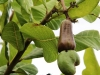 cashew-fruit-and-nutsm-jpg