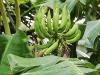 green-bananas-on-treesm-jpg