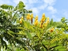 yellow-blooms-in-treesm-jpg