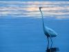 curious-egret