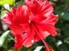 red-hibiscus-flowersm-jpg