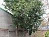 granobana-tree
