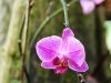 orchid-mauve-jpg